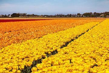 Veld met bloeiende tulpen van
