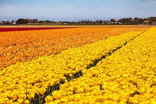 Veld met bloeiende tulpen