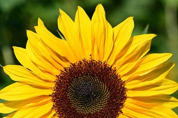 Eine halbe sonnenblume von Ulrike Leone