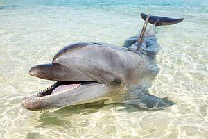 Dolphin van Norbert Probst