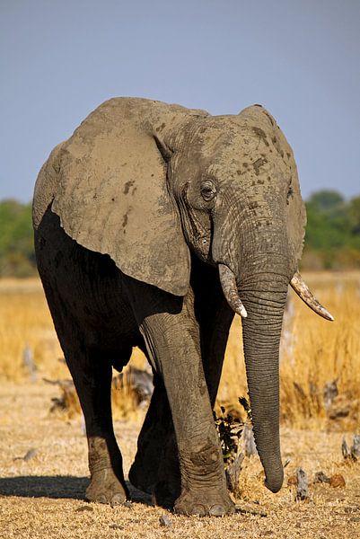 Elephant - Africa wildlife van W. Woyke