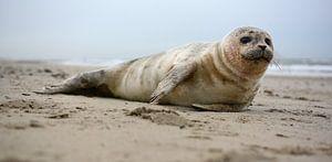 Zeehond op strand Texel