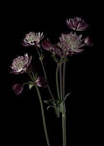 Boutons violets de Zeeland sur fond noir sur Carine Belzon
