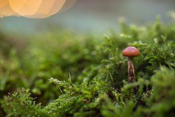 Een klein paddenstoel in het bos van Marcel Derweduwen