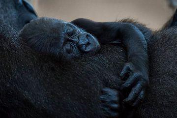 LP 71199770 Baby Westlicher Flachlandgorilla von BeeldigBeeld Food & Lifestyle