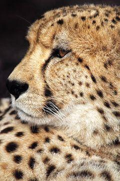 Gepard (Acinonyx jubatus) von Dirk Rüter