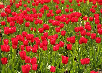 Tulpenveld met rode tulpen van Sabine DG