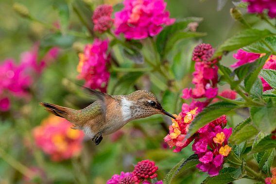 Kolibrie van Eddy Kuipers