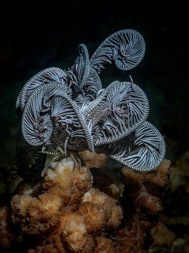 Zeelelie doet een dutje op hard koraal