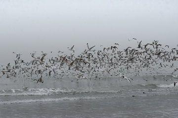 Zeemeeuwen zwermen van Koo de Strandjutter