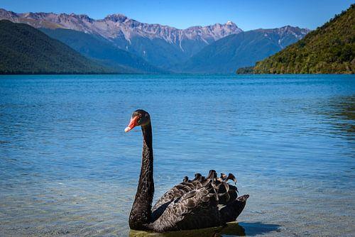 Zwarte zwaan in Lake Rotoroa, Nieuw Zeeland