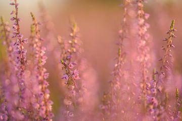 Blühendes, violettes und rosa Heidekraut von Miranda Rijnen Fotografie