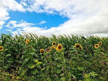 Tournesols au bord d'un champ de maïs sous un ciel dramatique