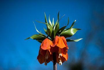 Keizerskroon (Fritillaria imperialis) van Big Vissie
