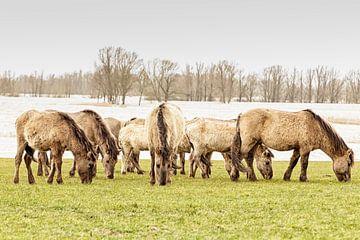 Konik-Pferde von Hans Aanen