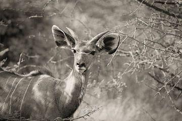 portret van een mannetjes kudu van Ed Dorrestein