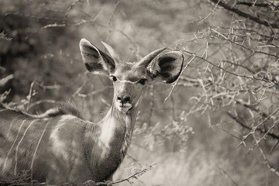 portret van een mannetjes kudu
