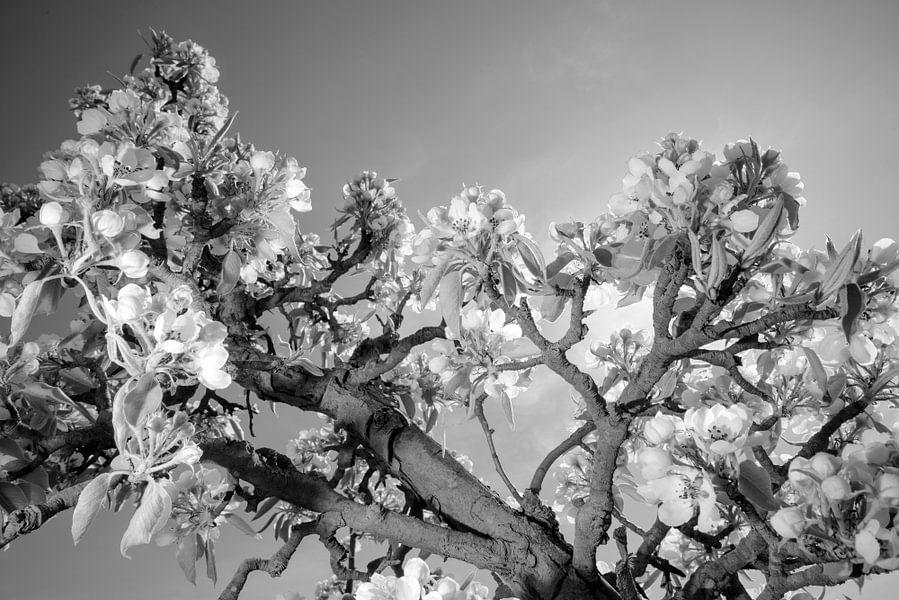 Appelbloesem in de Betuwe van Roelof Foppen