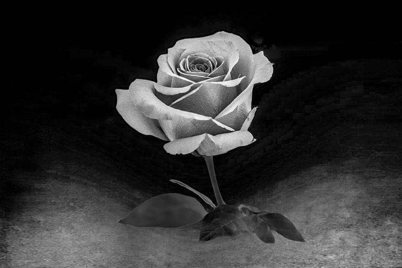 close-up van fraaie roos uitgevoerd in silver-zwart-wit van Rita Phessas