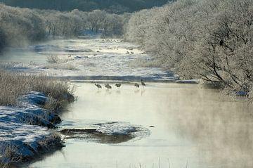 Chinese Kraanvogel, Grus japonensis sur AGAMI Photo Agency