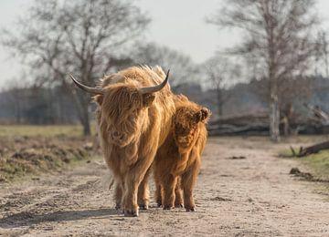 Schotse Hooglander met kalf van Ans Bastiaanssen