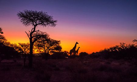 De zon gaat onder in de Kalahari woestijn, met silhouet van giraffes