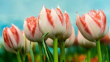 Tulips van Patrick Vischschraper
