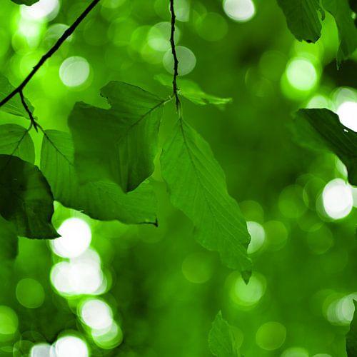 Beech Leaf Canopy Square van