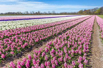 Landschap met rijen van bloeiende roze en witte hyacinten bloemen in Holland van Ben Schonewille