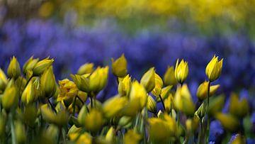 Tulpen in geel en paars van Gerda Hoogerwerf