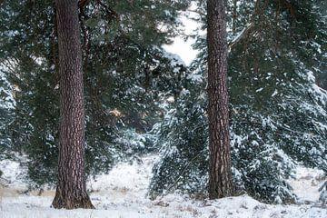 De mooie bast van Dennenbomen op de Kampina op een winterse ochtend van Jos Pannekoek