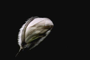 Bloemknop van de witte magnolia  von Yvon van der Wijk