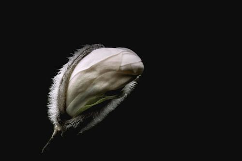 Bloemknop van de witte magnolia  van