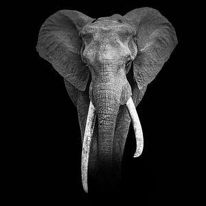 Portret van een great tusker - olifant