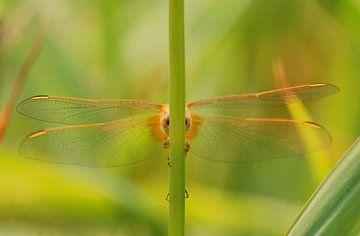 Ogen Libellen van Margreet Frowijn