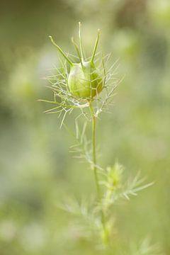 Saatgutkiste von Jungfer-im-Grünen - Magical Green von Dagmar Hijmans