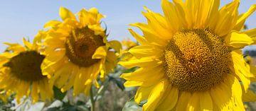 Zonnebloemen in Zeeland van Peter Bartelings Photography
