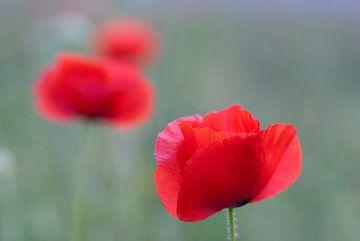 Poppies zwischen dem weichen Gras von Birgitte Bergman
