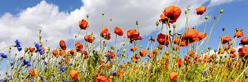 Mohnblumenfeld mit Kornblumen   Panorama von Melanie Viola