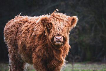 Portret van Schotse Hooglander kalf met actieve houding in Nederlandse natuur van Maarten Oerlemans