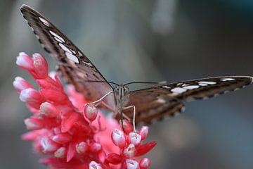 de vlinder op de rood-witte bloem - butterfly in close up - Schmetterling hautnah - Papillon se bouc van Ineke Duijzer