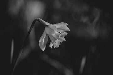jonquille noire et blanche sur Tania Perneel
