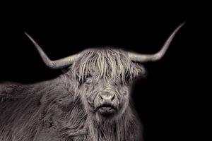 Schottischer Highlander, langhaariges Rind, in schwarz und weiß