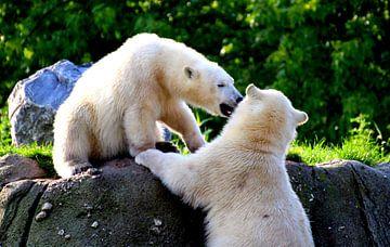 Spelende ijsberen van DMshoot .