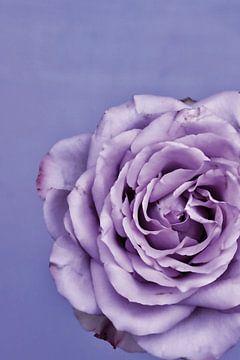 Foto van een paarse roos. van Therese Brals