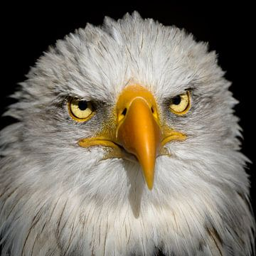 Weißkopfseeadler sur