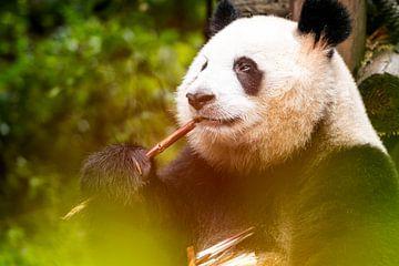 Essender Panda von Michael Bollen