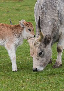 Ungarische Kuh mit ihrem Kalb von Alie Messink