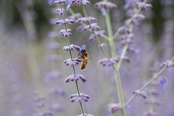 Biene auf einer Blume von Elien Voets