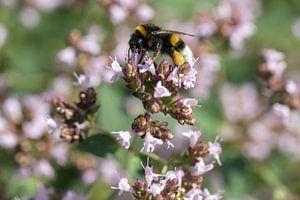 Hommel op paarse bloemen van Marc Heiligenstein